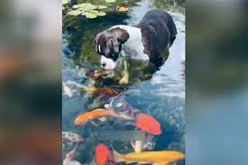 قاب دیدنی از لحظه بوسیدن یک سگ توسط ماهیها!