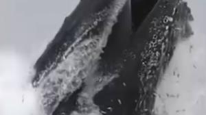لحظه صید ماهی توسط نهنگ کوهاندار