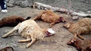 گرگهای گرسنه ۹ رأس گوسفند را در «گوگلی» دریدند