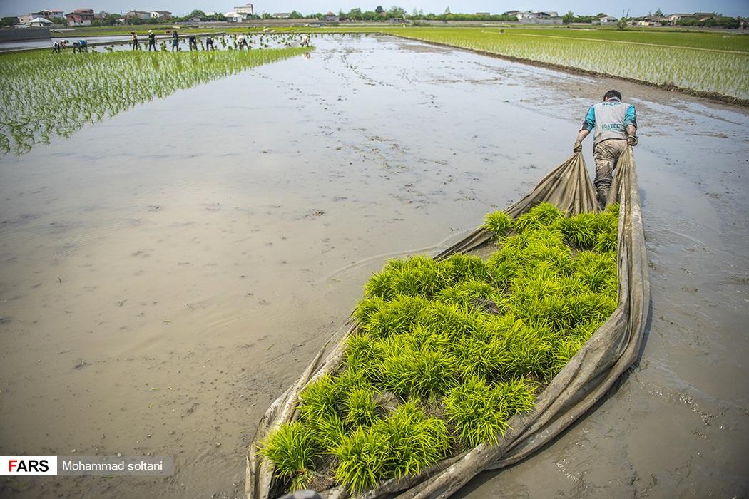 عکس/ برنج یکی از قدیمیترین و مشهورترین غذاهای بشر