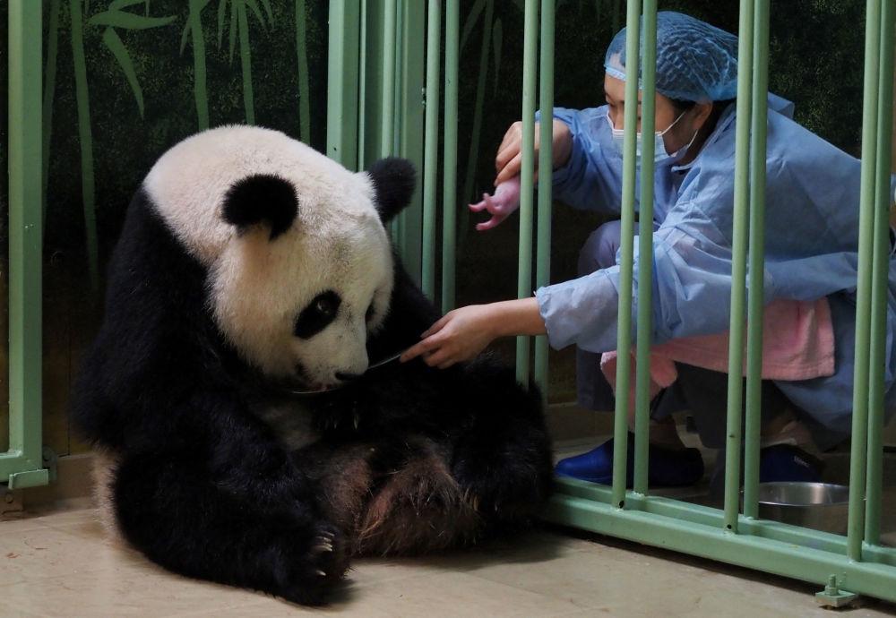 تصاویری از تولد دوقلوهای پاندای چینی
