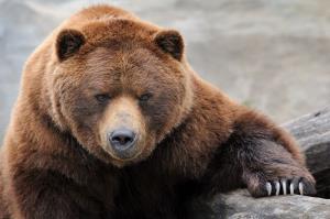 خرس در شهرستان دزپارت یک نفر را مجروح کرد