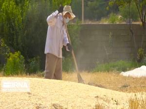 برداشت گندم از مزارع کشاورزی اردبیل آغاز شد