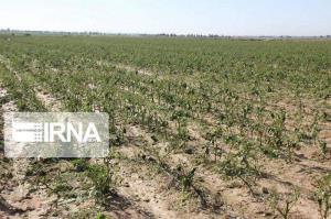 ۵۰ درصد کشتزارهای آبی کشاورزی خراسان شمالی با تنش آبی مواجه است