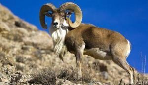 قوچ وحشی در پارک ملی کویر