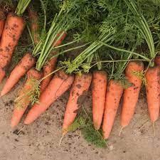 برداشت ۷۰۰ تن هویج توسط کشاورزان مهابادی