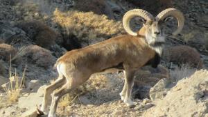 دستگیری متخلفین شکار ۲ رأس قوچ وحشی در زرند