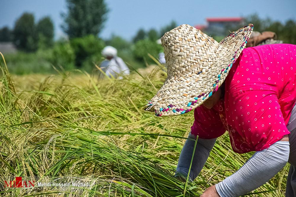 برداشت برنج از مزارع آستارا