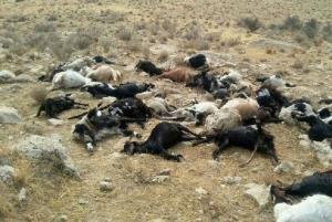 یک گله گوسفند بر اثر تصادف در بیجار تلف شد