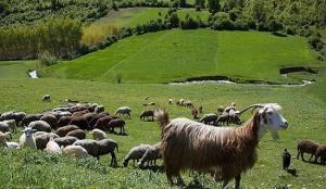 مدیرکل منابع طبیعی: دامداران آذربایجانغربی برای تمدید پروانه چرا اقدام کنند