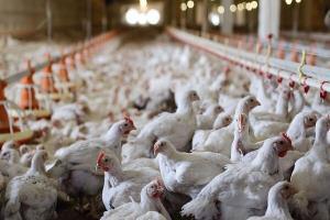 خسارت میلیاردی قطع برق به یک مرغداری در لرستان