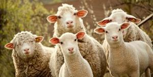 آب آلوده جان ۱۲ گوسفند را در اسفراین گرفت