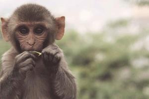 میمونی با توانایی عجیب در صخرهنوردی!