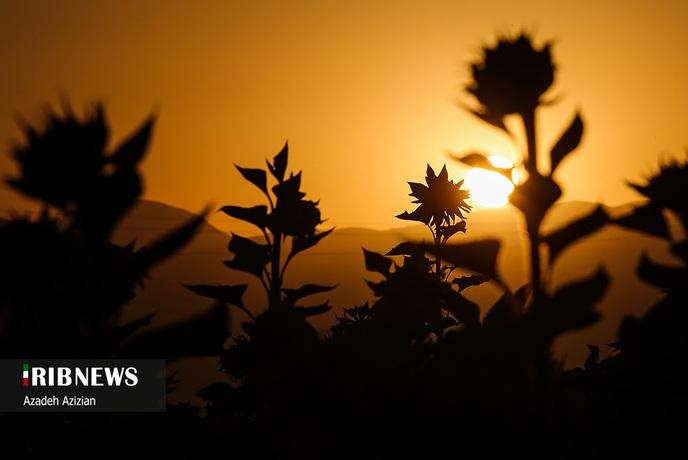 مزرعه گل آفتابگردان در اصفهان