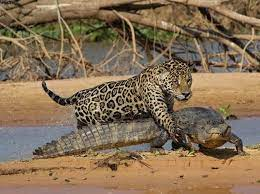 شکار راحت تمساح توسط جگوار