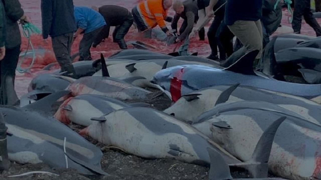1400 دلفين در «جزاير فارو» دانمارک کشته شدند