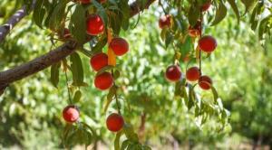 محلول افزایش ماندگاری میوه تا دو برابر توسط محققان کشور تولید شد