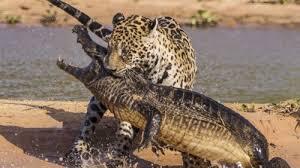 لحظه دیدنی شکار تمساح توسط جگوار