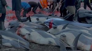 1400 دلفین در «جزایر فارو» دانمارک کشته شدند