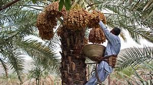 برداشت بیش از ۲۵ هزار تن خرما در ایرانشهر