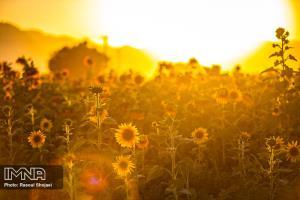 تصويري چشم نواز از غروب خورشيد در مزرعه آفتابگردان