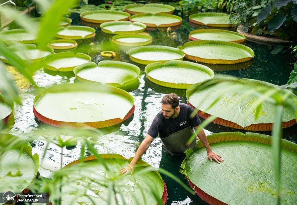 نمایی از نیلوفرهای آبی در باغ گیاه شناسی لندن