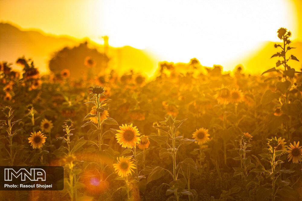 تصویری چشم نواز از غروب خورشید در مزرعه آفتابگردان