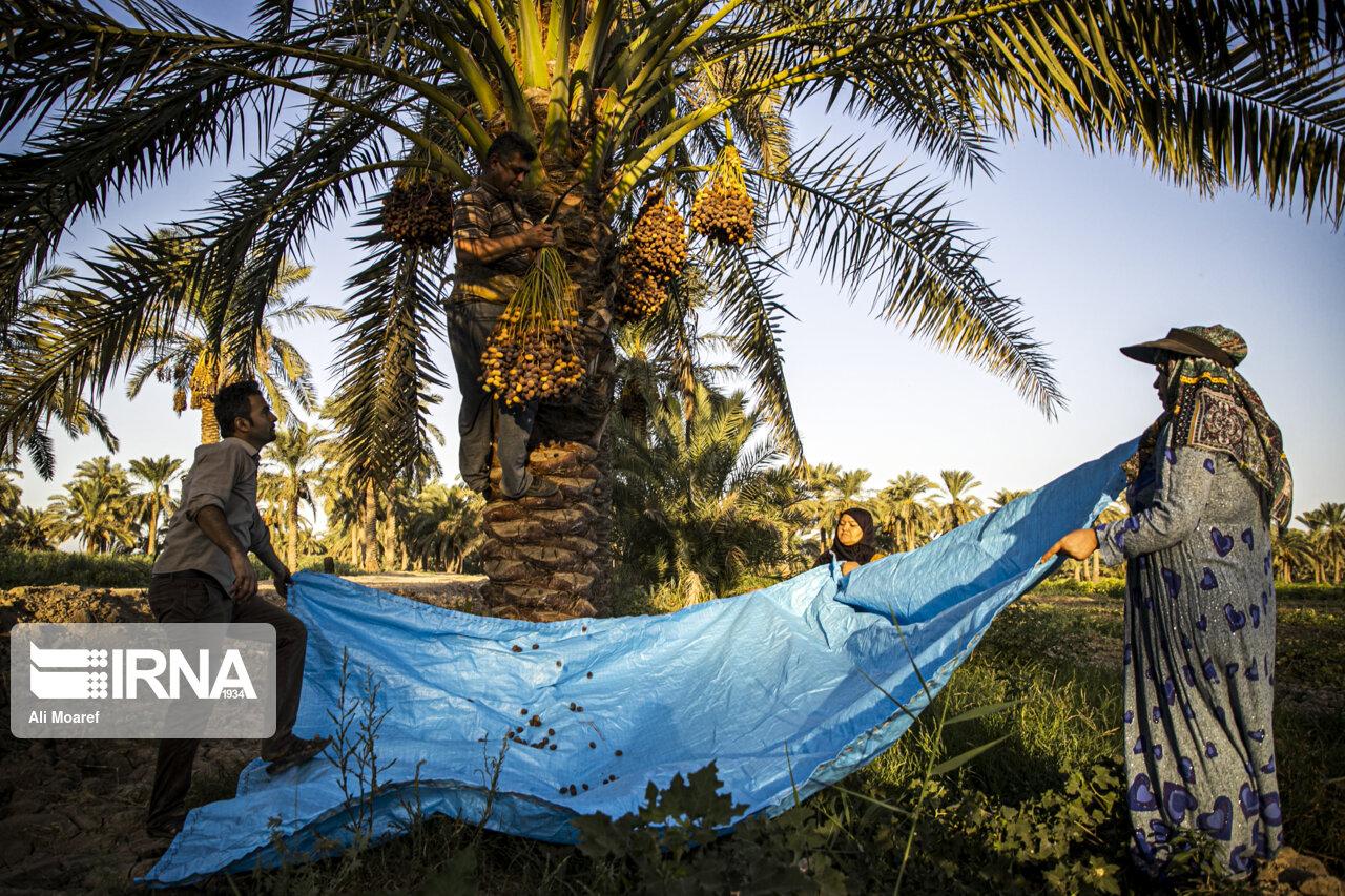 عکس/ برداشت خرما از نخلستان های غزاویه