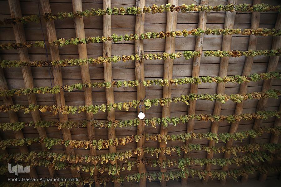 عکس/ برداشت و فرآوری انگور در روستای «جرندق» تاکستان