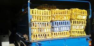 توقیف بیش از یک تُن مرغ زنده خارج از شبکه توزیع در میاندوآب