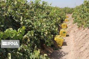 ۳۶ هزار تن انگور در سیسخت برداشت میشود