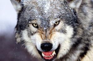 ماجرای حمله یک گرگ زخمی به امدادگر کوهستان و کشتی گرفتن با او!