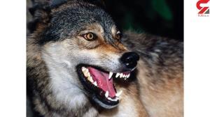 حمله خونین گرگهای گرسنه به چالدران