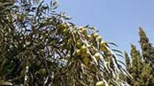 پیشبینی برداشت ۲۰۰۰ تن زیتون کنسروی از باغات استان کرمانشاه