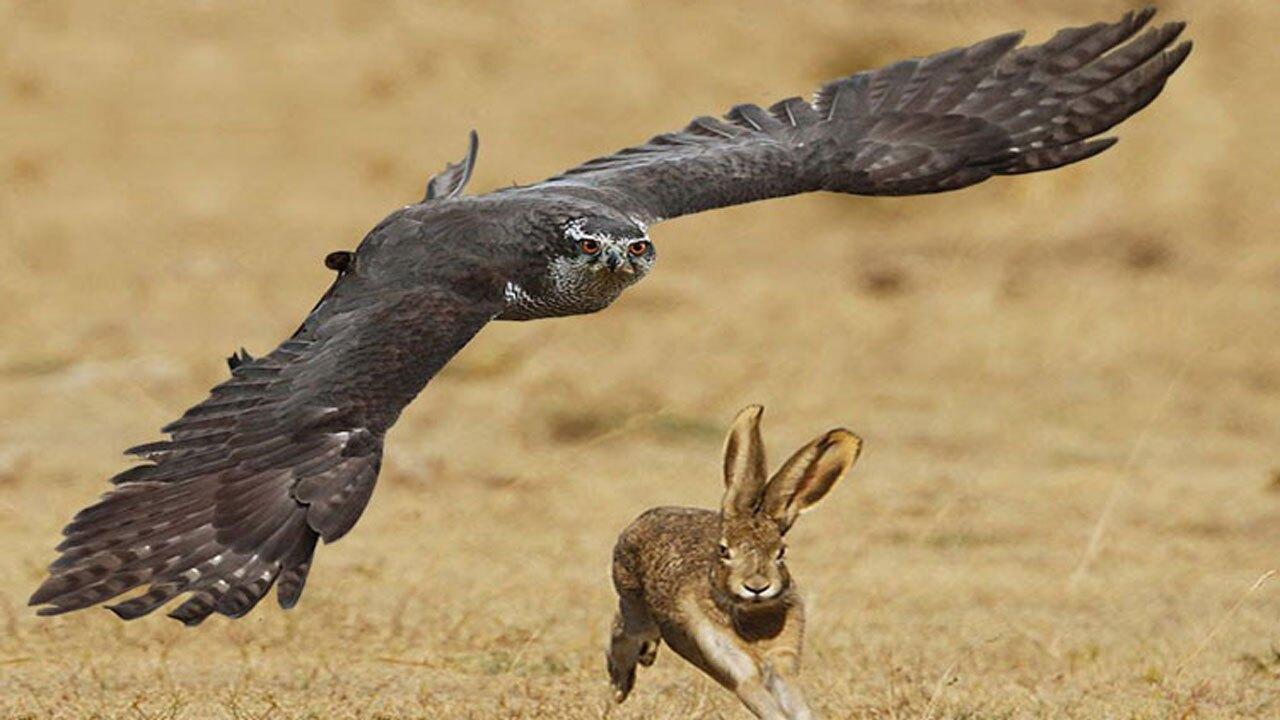 حمله شاهين قدرتمند به خرگوش