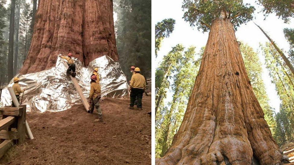 بزرگترين درخت جهان در معرض آتش سوزي