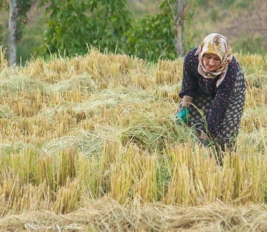 عکس/ برداشت برنج در الموت
