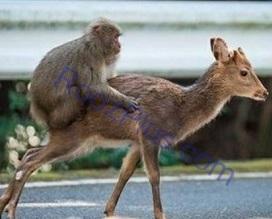 سواری گرفتن میمون از آهو