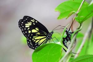 پروانههای علف شیر خونآشامتر از چیزی هستند که به نظر میرسند