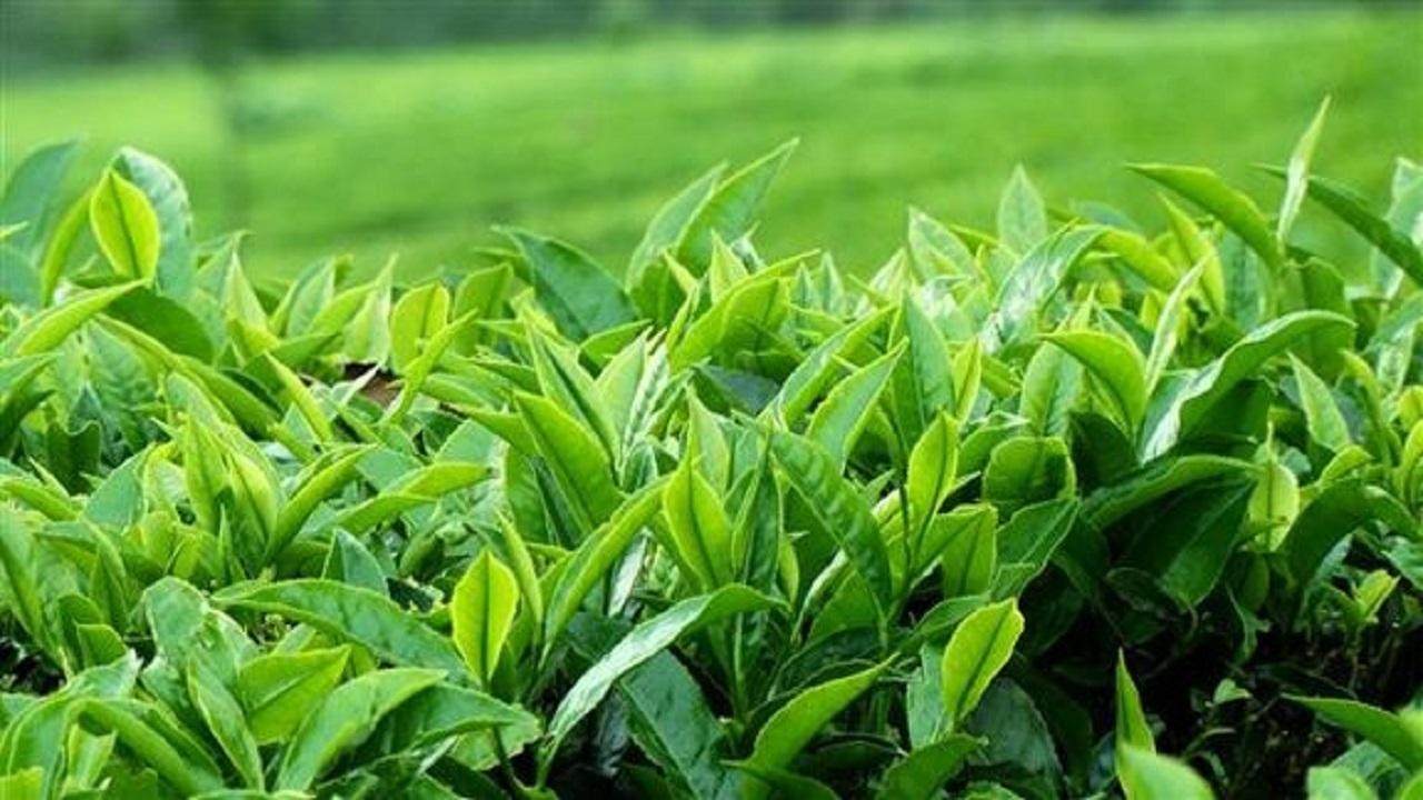 افزايش خريد تضميني برگ سبز چاي از چايکاران گيلاني