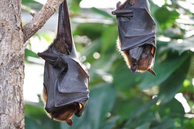 ابداع درمانهاي جديد کوويد-۱۹ با الهام از خفاشها!
