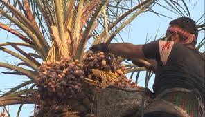اعتراض کشاورزان آبادانی به قیمت خرید خرما