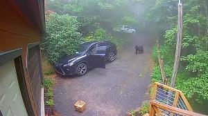 وحشت زن جوان از حضور خرس در داخل اتومبیلش