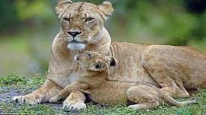 لحظاتی تماشایی و جالب از بازی خندهدار یک توله شیر با مادرش