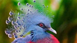 رنگ جالب یک کبوتر تاجدار