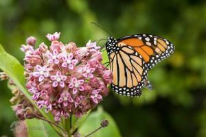 چرا پروانهها، فرزندان خود را میخورند؟