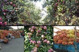 بیش از ۳۱ هزار تن سیب در بروجرد تولید میشود