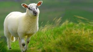 موفقیت طرح تکثیر گوسفند رومن در مراغه