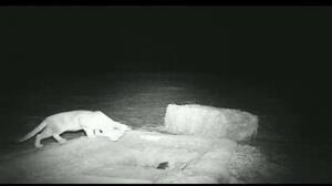 ثبت تصویر یک گربه شنی در انار
