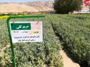 تولید گیاهان دارویی در نهالستانهای منابع طبیعی ایلام